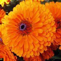 خواص گل همیشه بهار برای پوست و برای بانوان