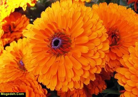 طبع گل همیشه بهار