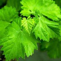 خواص برگ مو انگور در طب سنتی | خواص اشک مو