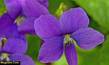 خواص گل بنفشه برای پوست